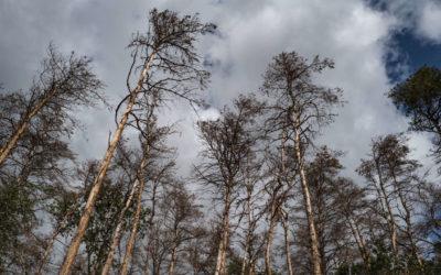 Des arbres menacés d'extinction